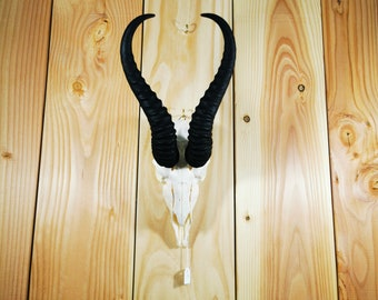 Real animal bone parts African mountain reed buck horn antler taxidermy weird man cave
