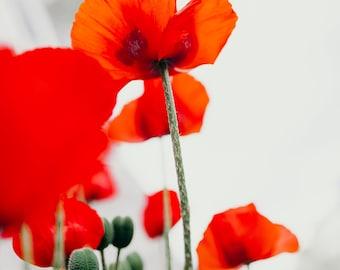 Poppies #2. Fine Art Photograph