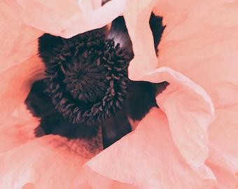Pink Poppies. Fine Art Photograph