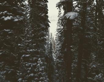 Shadow Pines. Fine Art Photograph