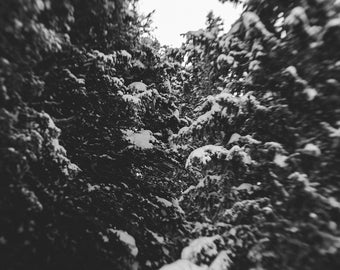Through the Pines. Fine Art Photograph