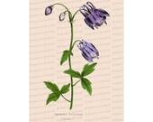Victorian Floral Vector Clip Art   Antique Columbine Flower   Vintage Aquilegia Vulgaris Botanical Color Plate Instant Download PNG JPG SVG