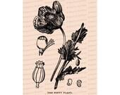 Edwardian Poppy | Antique Opium Poppy Papaver somniferum Flower | Vintage Botanical Floral Vector Clip Art Instant Download PNG JPG SVG