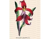 Victorian Floral Vector Clip Art   Antique Scarlet Amaryllis Flower   Vintage Botanical Color Plate   Instant Download PNG JPG SVG