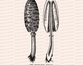 Vintage 1908 Horse-Tail Fungus Vector Clip Art   Antique Edwardian Coprinus comatus   Fungi Botanical Mushroom Clipart   PNG JPG SVG