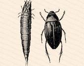 Victorian Water Beetle Larva & Adult | Antique Vintage Hydrophilus | Bug Vector Clip Art SVG PNG JPG Instant Digital Download