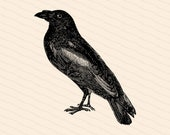 Victorian Raven Clipart | Antique Vintage Bird Corvidae Vector Clip Art SVG PNG JPG Spooky Halloween Printable Download
