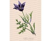 Victorian Floral Vector Clip Art | Antique Pasque Flower Anemone | Vintage Anemone Pulsatilla Botanical Color Plate | PNG JPG SVG