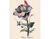 Victorian Floral Vector Clip Art | Antique Chinese Magnolia Flower | Vintage Botanical Color Plate | Instant Download PNG JPG SVG