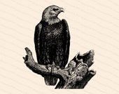Vintage Bald Eagle | Antique Victorian Eagle Haliaeetus leucocephalus | Patriotic Clipart | Instant Digital Download SVG PNG JPG