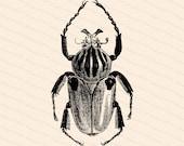 Victorian Goliathus cacius Beetle   Antique Vintage Insect Vector Clip Art SVG PNG JPG Instant Digital Download