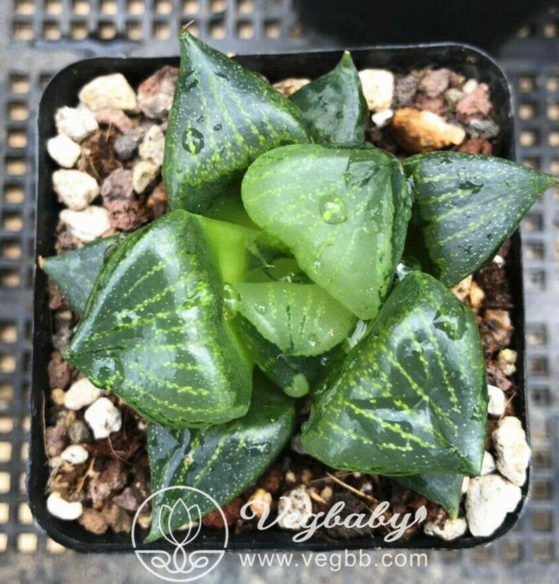 Haworthia /'Ura Hannya/' Mid Adult Rare Succulent Plant in 3 Pot
