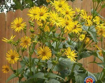 CUP PLANT Silphium Perfoliatum Tall Hardy Perennial Yellow Easy-To-Grow 10 Seeds