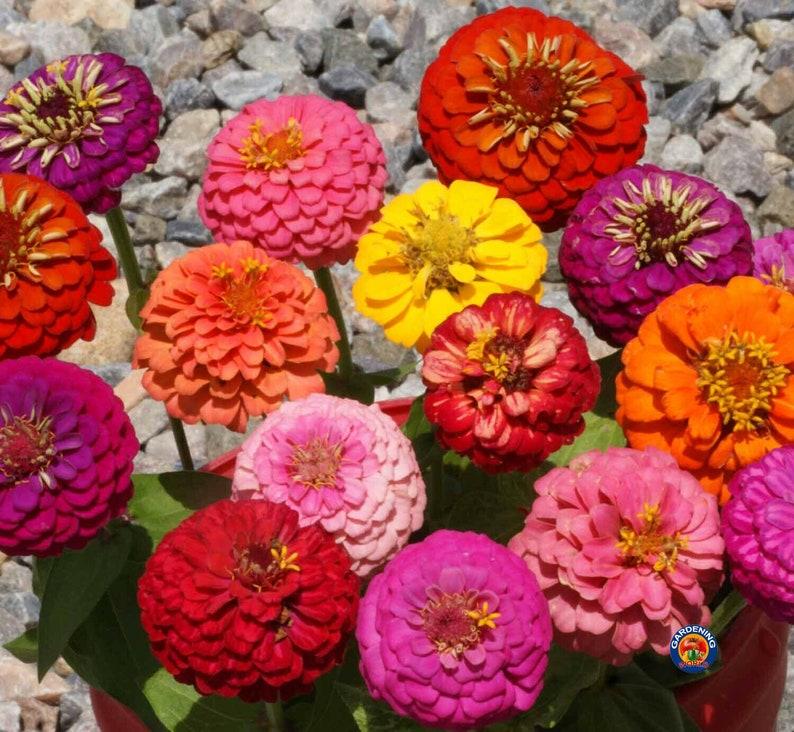 Approx 5200 Seeds 1oz Zinnia Thumbelina Mix Flower Seeds Zinnia Elegans