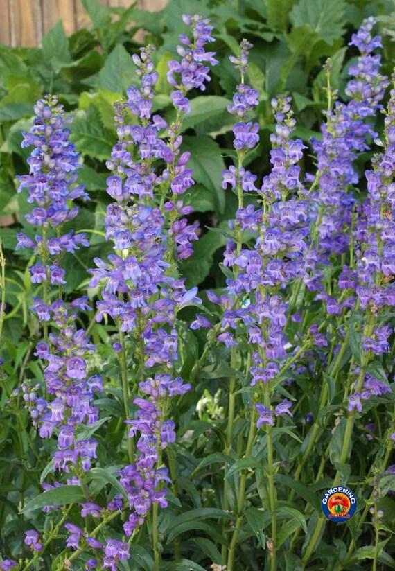 Limonium sinuatum kermek Graines de fleurs de l/'Ukraine