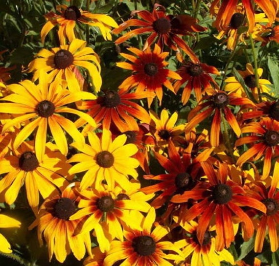 20,000 Bulk Seeds BLACK EYED SUSAN Rudbeckia Hirta