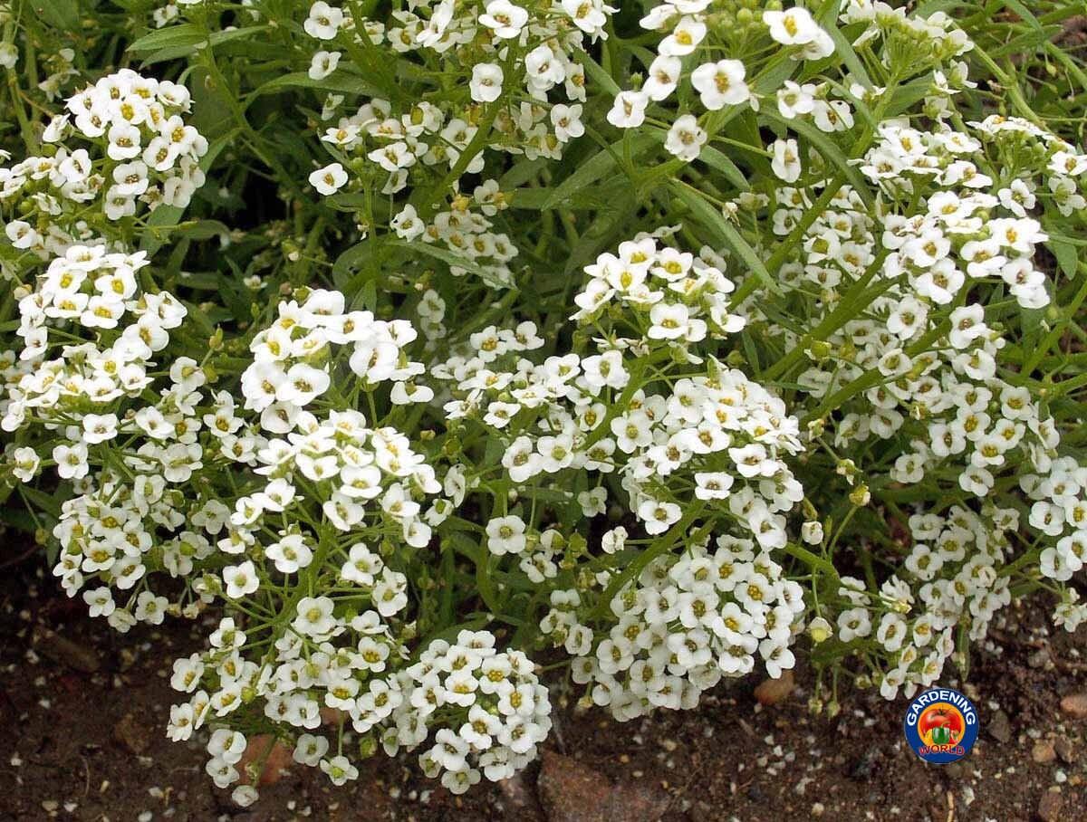 CUMIN Cuminum Cyminum Herb Flower Seeds *Comb S//H 100