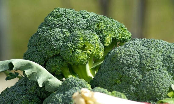 BROCCOLI /'Di Ciccio/' EARLY 100 Seeds  WINTER VEGETABLE GARDEN Italian Heirloom