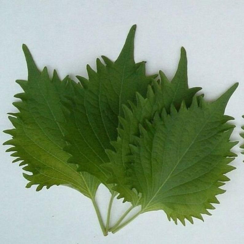 250 Green Shiso Ao Popular Herb Perilla frutescens var crispa