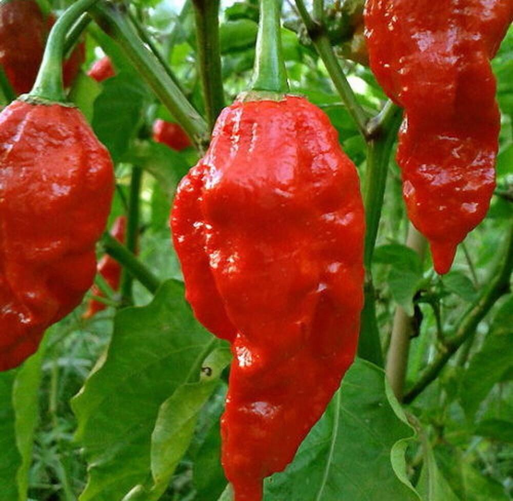 15PCs Seeds Chili Habanero Lemon Hot Pepper Yellow Organic Non-Gmo Vegetables