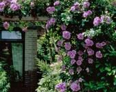 PLANT NOW Purple Climbing Rose Seeds, Rosa Setigera