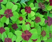 Iron Cross 4 Leaf Clover, NOT BULBS - actual plants, Purple and Green Lucky Shamrock, Rosy Pink Oxalis, Live House Plant