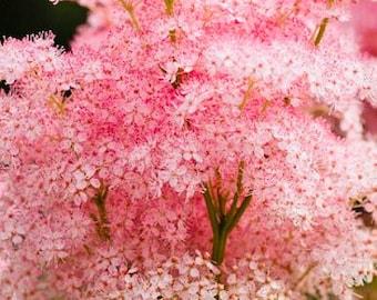 FALL PLANTING! 25 Queen of the Prairie Seeds, Filipendula Rubra