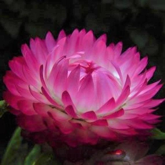 Silvery Rose Strawflower Seeds Helichrysum Xerochrysum bracteatum
