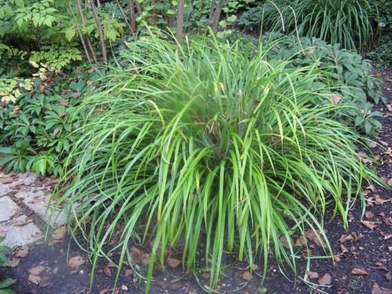 Phalaris arundinacea Reed Canary Grass 30 Seeds Marginal Grass UKFreeP/&P