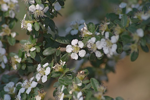 Cotoneaster salicifolius Repens 20 Seeds Red Berries Shrub//Hedge UKFreeP/&P