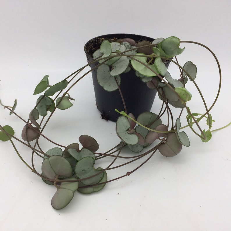 15cm heig Ceropegia Woodii /' /'String of Hearts/' House plant in 6cm pot approx