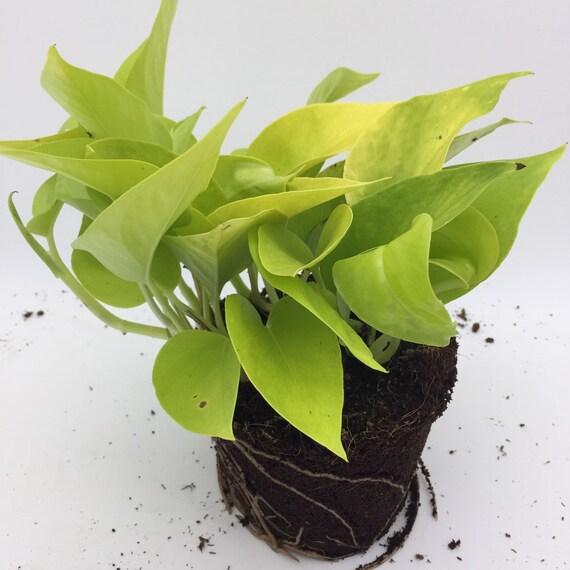 Epipremnum Aureum Doré Neon Pothos Vigne Plante Maison D Intérieur