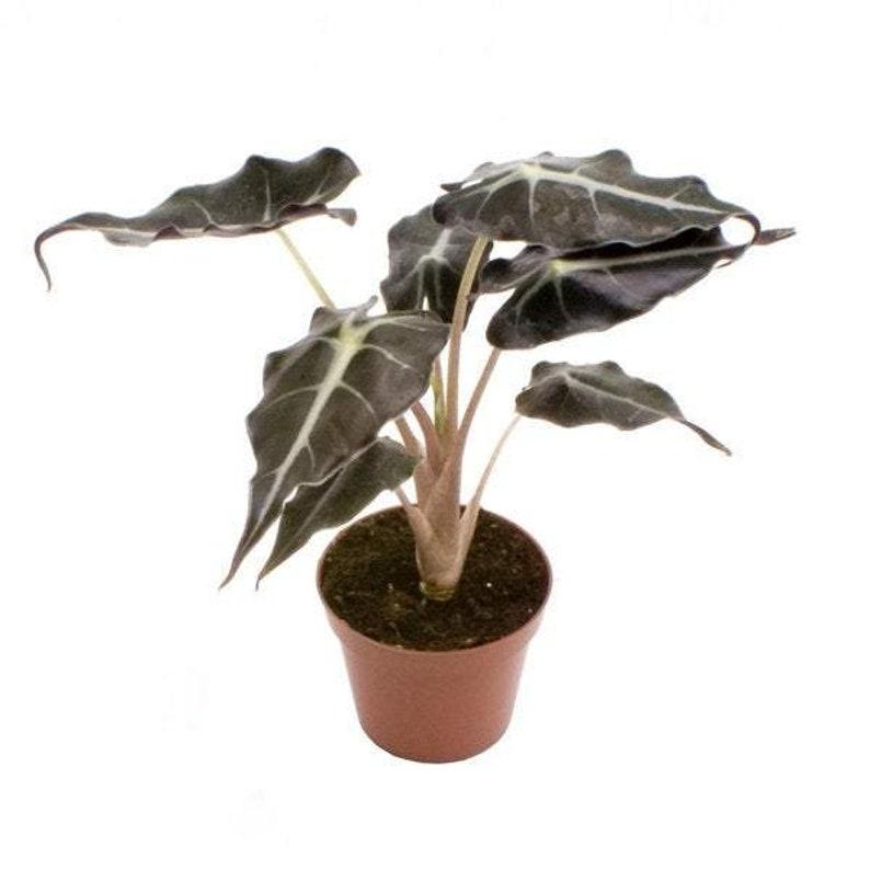 Alocasia curly bambino 7\u00f8 15cm height house plant