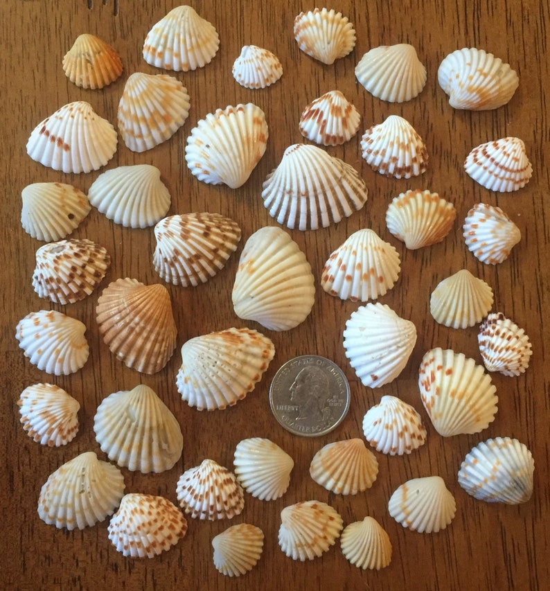 TIny Seashells for craft projects Lot of 20 Brown and White Arc Shells