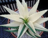 100pcs Succulents Seed Plant Aloe Vera Seeds Beauty Edible Cosmetic Bonsai Plants Seeds