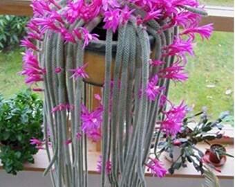 30PCs Seeds Salvia Leucantha Imported Mexican Bush Sage Pink Flower Bushy Shrub
