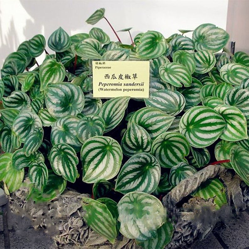 100Pcs Calathea Seeds Air Freshening Rare Plant Balcony Home Garden Decor Bonsai