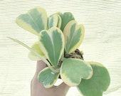 Hoya Kerrii (variegata) at least 7-9 leaves