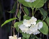 Hoya danumensis