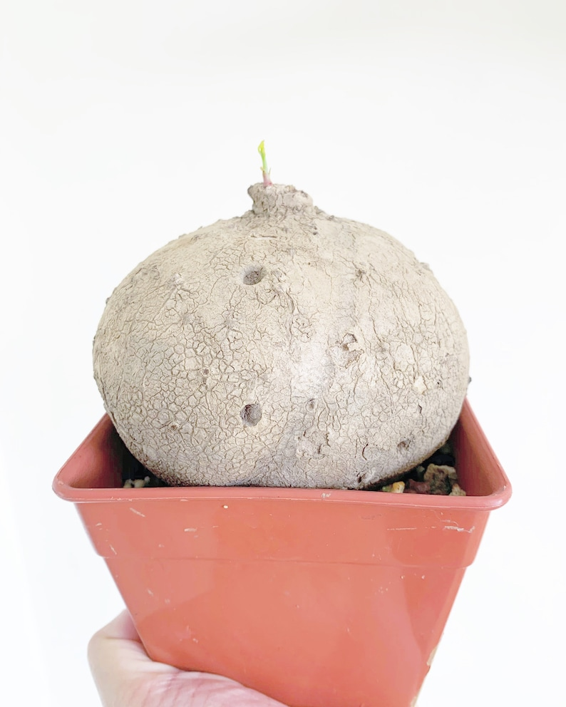 Stephania erecta 30-35cm