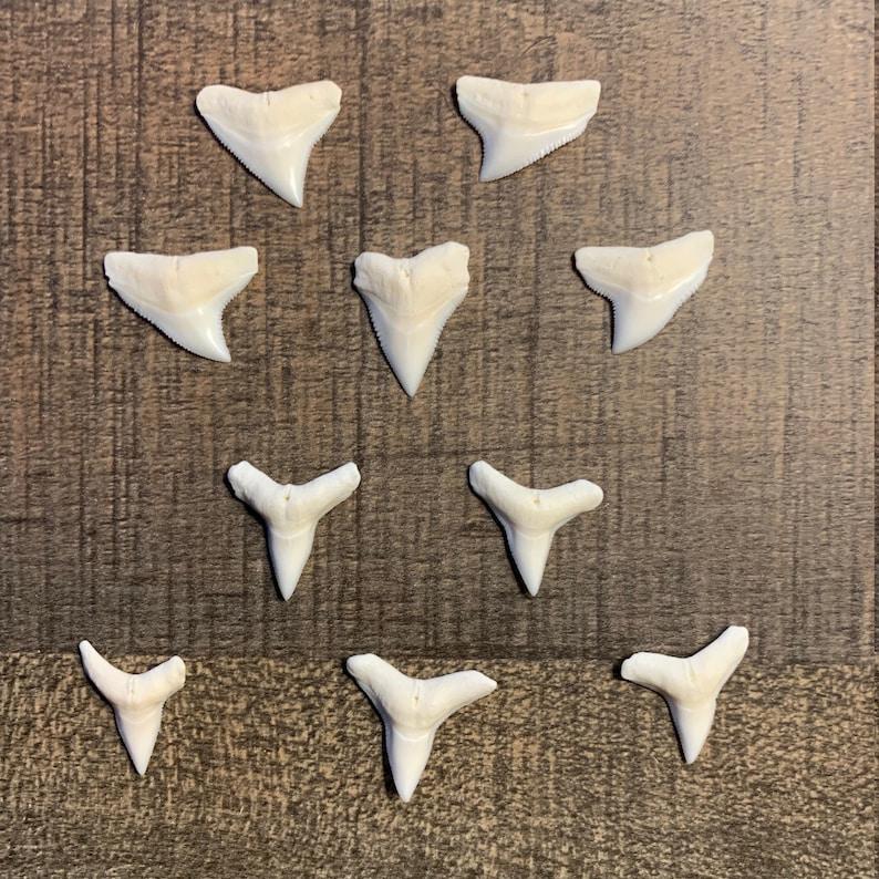 Modern Bull Shark Teeth 34