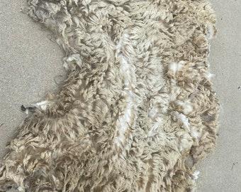 Raw Shetland wool, Unwashed, full fleece, White; _Thor