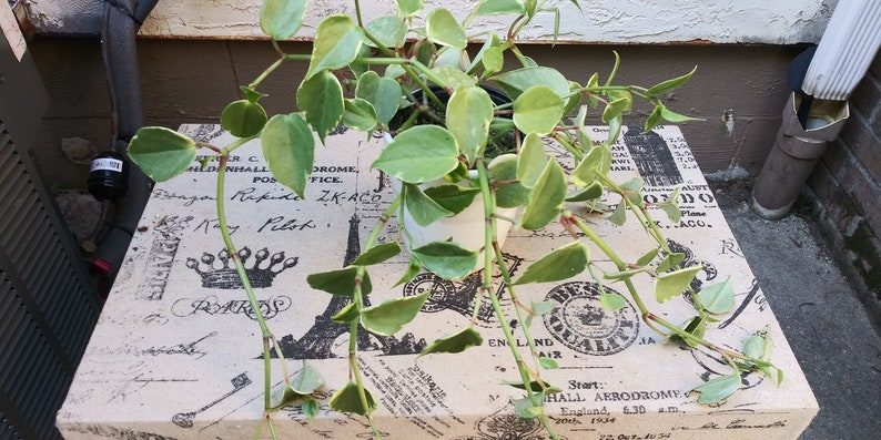 trhee  Pepperomia Scandens Variegated Cuttins 6 inch at least 2 nodes