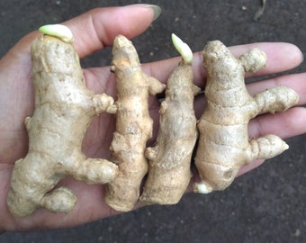 2 rhizomes white Turmeric Curcuma mangga herb my garden