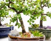 Creations by Nathalie-Live Dwarf Jade Plant Mini Bonsai Succulent Garden w Ceramic Base, Decorative Rocks Healing Crystals-Florida-grown