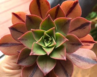 Aeonium | Etsy on senecio plant, helleborus plant, lithops plant, pericallis plant, sedum plant, crassula ovata plant, anisodontea plant, asclepias plant, kalanchoe plant, homalomena plant, ranunculus plant, echeveria plant, caralluma plant, mammillaria plant, graptopetalum plant, nephthytis plant, gazania plant, aloe plant, yucca plant,