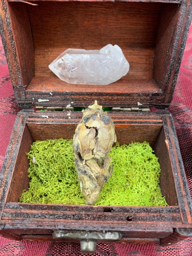Mummified Rat Skull and Quartz Wand Curio Cabinet Starter Set