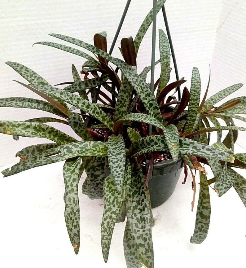 Silver Squill Ledebouria Socialis Live Plant Succulent In Hanging Basket Pot 6 With Hook