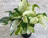 Pearls and Jade Pothos, Epipremnum aureum, Money plant, Pothos plant, Houseplant, plant