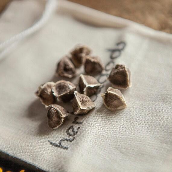 Moringa Oliefera Seeds (15 seeds)